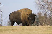 Plains Bison walking over the crest of a hill