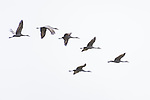 Damon, Texas; several sandhill cranes flying overhead in formation on an overcast morning