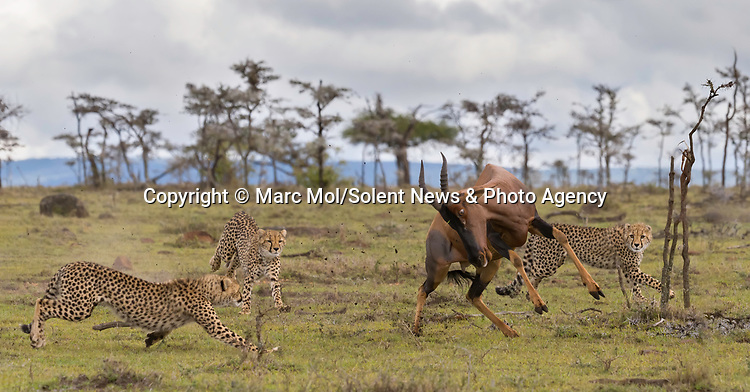 Pictured:  Sequence 3 of 11: The female Topi chases the cheetahs away from her calf.<br /> <br /> An antelope accidentally crashes into its young calf as flee from five cheetahs.  The female topi had been grazing peacefully with the youngster before the predators attacked.<br /> <br /> Fortunately the pair were eventually able to escape by sprinting away from the hungry cheetahs.  The dramatic images were captured in the Naobosho Conservancy, on the Mara Reserve in Kenya by photographer Marc Mol.  SEE OUR COPY FOR DETAILS.<br /> <br /> Please byline: Marc Mol/Solent News<br /> <br /> © Marc Mol/Solent News & Photo Agency<br /> UK +44 (0) 2380 458800