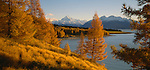 Autumn Larch trees at Lake Pukaki in the Mackenzie Country. Canterbury Region New Zealand.