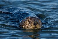 Southern Sea Otter (Enhydra lutris nereis) swimming.  Monterey Bay, CA.