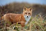 Red Fox (Vulpes vulpes). Izembek NWR, Alaksa.
