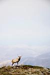 Tule Elk (Cervus elaphus nannodes) bull on hill, Point Reyes National Seashore, California