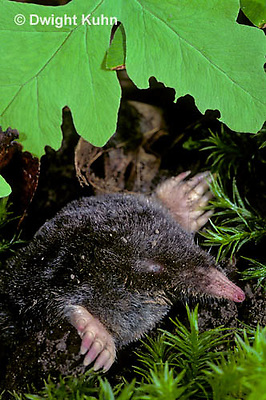 MB25-011z   Hairy-tailed Mole - digging - Parascalops breweri