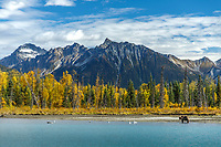 Fall landscape of grizzly bear walking on shore at Crescent Lake, Lake Clark National Park, Alaska.<br /> <br /> Photo by Jeff Schultz/SchultzPhoto.com  (C) 2018  ALL RIGHTS RESERVED<br /> <br /> 2018 Bears, Glaciers and Fall Colors Photo tour/workshop