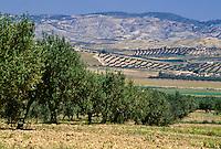 Tunisia.  Olive Trees near Zaghouan.