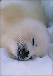 """Harp Seal Pup, Canada<br /> Inside message: Season's Greetings.<br /> One dozen 5 x 7"""" holiday cards with thirteen white envelopes in a green box with clear lid. Printed on recycled paper with soy based inks. Watermark does not appear on product."""