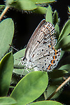 karner blue butterfly female resting on wild lupine, close-up side view, concord, new hampshire