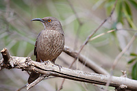 Curve-billed Thrasher (Toxostoma curvirostre palmeri), Western subspecies group, resting at the Paton Center for Hummingbirds, Patagonia, Arizona.