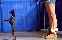 Nice legs. Apollo the miniature pinscher takes a look around from his hind legs while standing with his owner, Anne Kurgan of Omaha Saturday at the Great Iowa Pet Expo at the State Fairgrounds.  Kurgan was waiting with Apollo to take the canine good citizen test.  The mission of the Great Iowa Pet Expo is to promote the health and well-being of Iowa's companion animals; to educate Iowa pet owners on the importance of spaying, neutering & regular veterinary care; and to encourage pet ownership as a lifetime commitment.