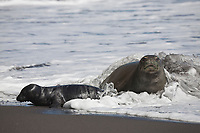 Hawaiian monk seal, Neomonachus schauinslandi ( Critically Endangered species, endemic to Hawaiian Islands ), and two week old pup are covered in foam from incoming wave, Waimanu Valley, Hawaii Island ( Pacific Ocean )