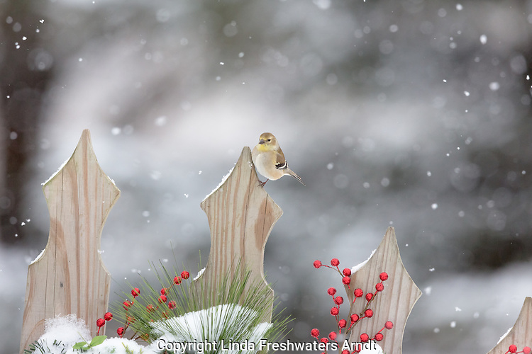 American goldfinch on a decorative fence