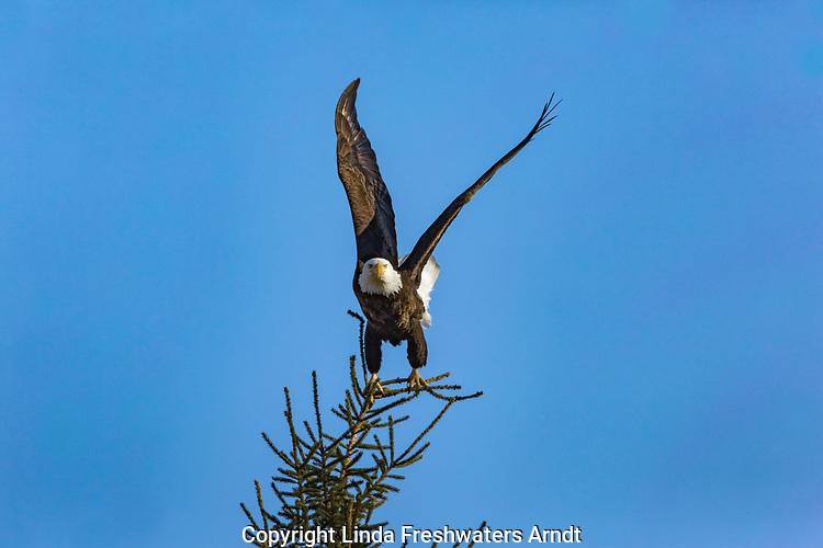 Bald eagle taking flight in northern Wisconsin