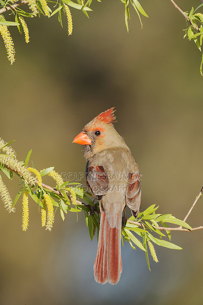 Northern Cardinal (Cardinalis cardinalis), female in willow, Dinero, Lake Corpus Christi, South Texas, USA