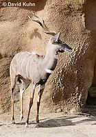 0529-1106  Lesser Kudu, Tragelaphus imberbis  © David Kuhn/Dwight Kuhn Photography