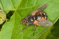 Igelfliege, Raupenfliege, Weibchen, Tachina fera, Tachinid Fly, parasitic fly, la Tachinaire sauvage, Tachinidae, Raupenfliegen, Igelfliegen, Schmarotzerfliegen, tachinids, parasitic flies