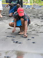 local researcher helps to release leatherback sea turtle hatchlings, Dermochelys coriacea, Dominica, Caribbean, Atlantic