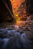 Bounced canyon light and glowing aspen in the Narrows. Zion National Park, UT