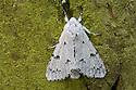 Miller moth {Acronicta leporina} Oxfordshire, UK. July.