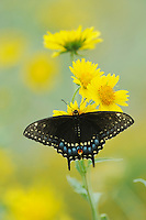 Black Swallowtail (Papilio polyxenes), female feeding on Cowpen Daisy, Golden Crownbeard (Verbesina encelioides), Laredo, Webb County, South Texas, USA