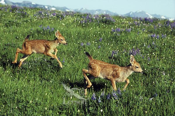 Black-tailed deer fawns running through alpine meadow, Summer, Pacific Northwest.