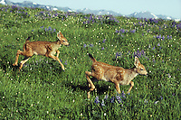Black-tailed deer fawns running through alpine meadow, Summer, Pacific Northwest.