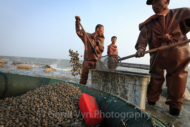 Shellfish harvesters on the mudflats at Bohai Bay, China. Besides being important to human livelihoods these mudflats are the primary migratory stopover location in the Yellow Sea for Red Knots migrating from  New Zealand and Australia to the Rudssian Arctic. The mudflats are being quickly lost to development.