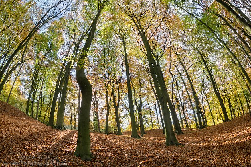 Beech {Fagus sylvatica} woodland in Autumn. Derbyshire, UK. November.