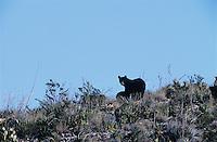 Black Bear, Ursus americanus, female with cub, Big Bend National Park, Texas, USA, March 2005