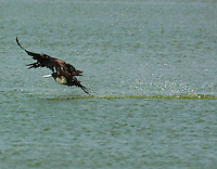 Adult female magnificent frigatebird skimming surface of pond