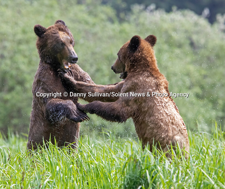 Sequence 5 of 9:  Young bears look like they're dancing as they play fight in the morning sun.  The two animals had just swum across an inlet in the Khutzeymateen Grizzly Bear Sanctuary in Canada's British Colombia when they indulged in some horseplay.<br /> <br /> The images were captured by amateur wildlife photographer Danny Sullivan.  SEE OUR COPY FOR DETAILS.<br /> <br /> Please byline: Danny Sullivan/Solent News<br /> <br /> © Danny Sullivan/Solent News & Photo Agency<br /> UK +44 (0) 2380 458800