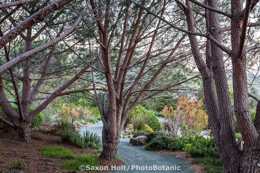 Gravel path through grove of Pinus pinea trees, (Italian stone pine, umbrella pine, parasol pine) at Leaning Pine Arboretum, California garden