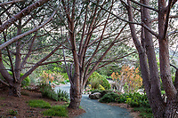 Gravel path through grove of Pinus pinea trees, (Italian stone pine, umbrella pine, parasol pine) at Leaning Pine Arboretum, California garden