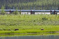 Grizzly bear along the trans Alaska oil pipeline in the Brooks Range, Alaska