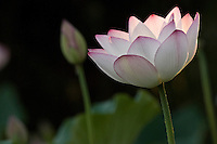 Two lotus flowers, one wide open and one in the background budding