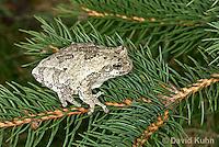 0303-0902  Eastern Gray Treefrog (Grey Tree Frog) on Pine Tree Branch, Hyla versicolor  © David Kuhn/Dwight Kuhn Photography