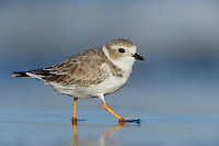 Piping Plover (Charadrius melodus), adult walking, Port Aransas, Mustang Island, Texas Coast, USA