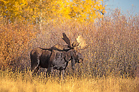 moose, Alces alces, bull in a meadow, Grand Teton National Park, Wyoming, USA