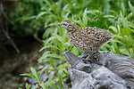 an immature spruce grouse on a log in montana