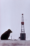 Alaska, Grizzly Bear, Arctic oil rig, Prudhoe Bay, oilfields, Trans Alaska Pipeline, Barren Ground Grizzly Bear, ursus arctos;