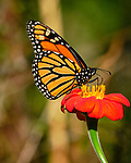 Monarch butterfly feeding on Mexican Sunflower. Image taken with a Fuji X-T3 camera and 200 mm f/2 lens