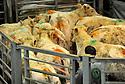 27/03/12 - MOULINS ENGILBERT - NIEVRE - FRANCE - Marche au cadran de Moulins Engilbert. Filiere bovin viande - Photo Jerome CHABANNE