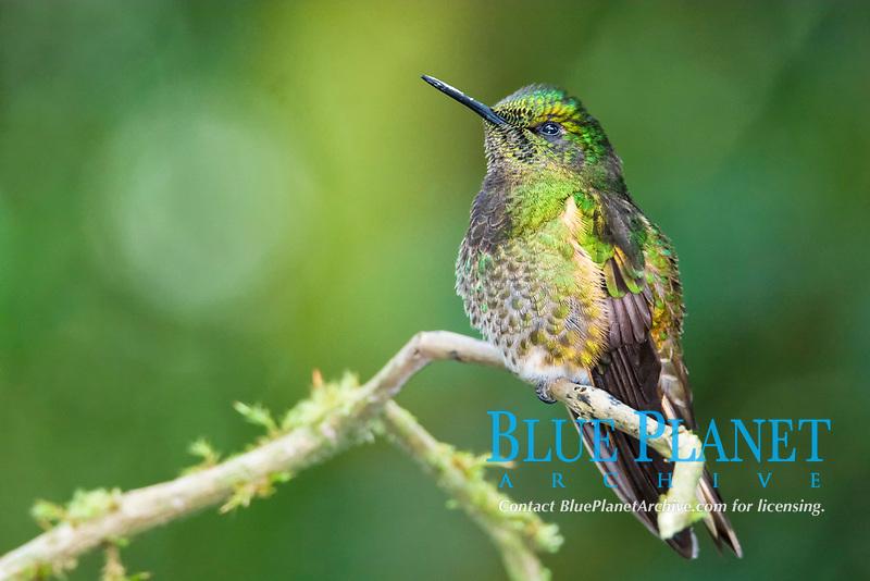 buff-tailed coronet, Boissonneaua flavescens, rio Papallacta valley, Guango, Ecuador, South America