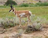 Pronghorn buck. This buck had a herd of about 4 or 5 does, most or all pregnant. When we drove up one doe was on opposite side of fence from buck and rest of does. She couldn't figure out how to get over the fence and ran back and forth as the buck stood and watched. We left before she joined the herd.