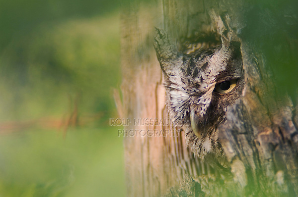 Eastern Screech-Owl, Megascops asio, adult in nest hole, Willacy County, Rio Grande Valley, Texas, USA