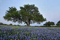 Texas Bluebonnet (Lupinus texensis), mixed wildflower field, Llano, Texas, USA