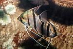 angelfish swimming left