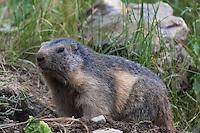 Europe, France, Aquitaine, Pyrénées-Atlantiques, Béarn, Borce: Marmotte, Parc animalier de Borce  // Europe, France, Aquitaine, Pyrenees Atlantiques, Bearn, Borce