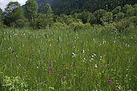 Weidmoos bei Oberammergau, Ettal, NSG Ettaler Weidmoos, Kalkflachmoor, Flachmoor, Moor, Alpenwiese, Blumenwiese, Bergwiese, Orchideenwiese, Orchideen, Alpen, Ammergebirge, Bayern, Deutschland. Alps, Bavaria, Germany