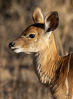 This young Nyala antelope was on its own in Kruger.